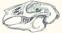 Cranio del coniglio
