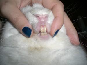 denti sani coniglio