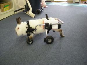 carrellino per conigli disabili