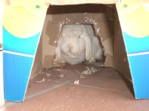 Coniglio rosicchia scatola di cartone
