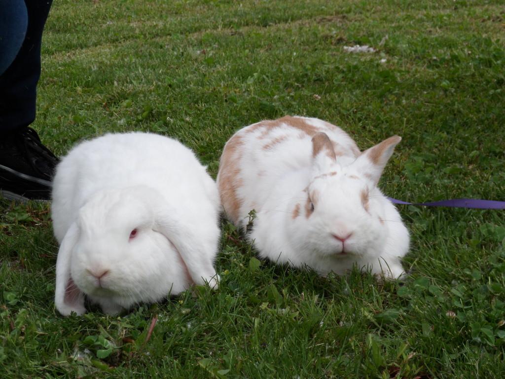 coppia di conigli