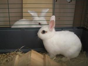 coppia conigli in inserimento