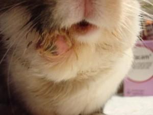 ascesso mandibolare nel coniglio