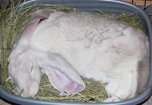 Perch il mio coniglio non fa la cacca addestrare conigli - Lettiera coniglio nano ...
