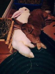 conigli sdraiati vicini