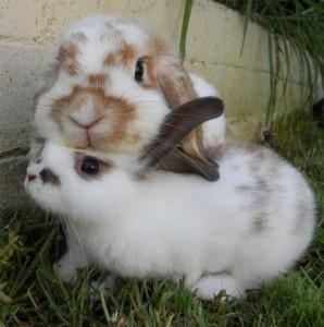 coniglio che strofina il mento