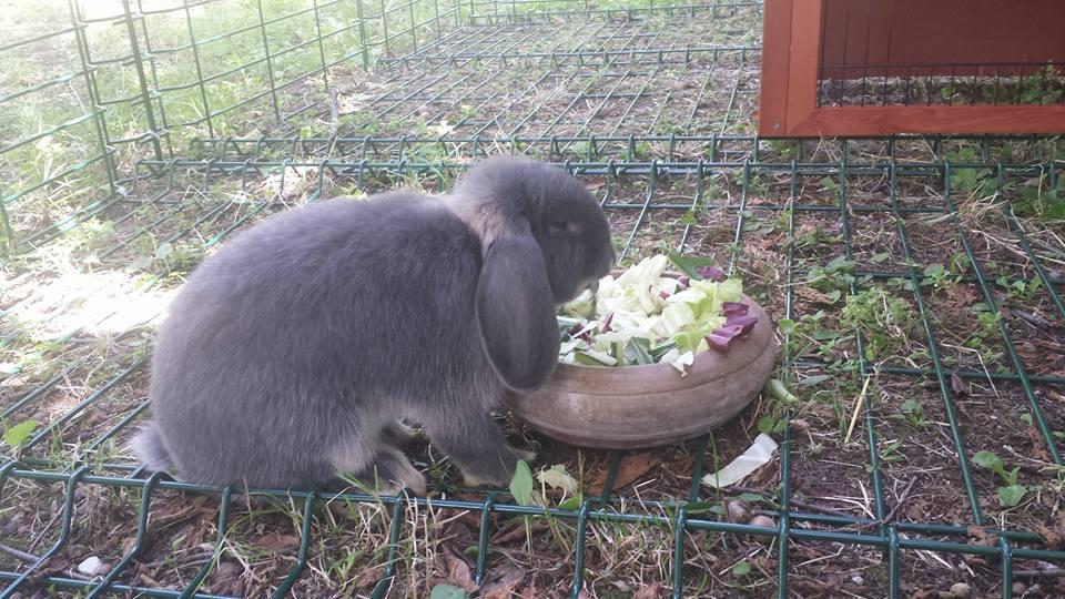 Sherlock pranza alla pensione estiva di Addestrare Conigli