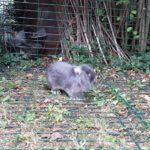 Sherlock coniglio alla pensione estiva di Addestrare Conigli