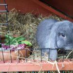 Blue coniglia nella conigliera alla pensione estiva di Addestrare Conigli