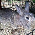 Ugo coniglio nel fieno alla pensione estiva di Addestrare Conigli