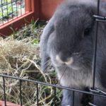 Sherlock nella conigliera alla pensione estiva di Addestrare Conigli