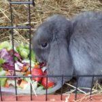 Blue coniglia cena alla pensione estiva di Addestrare Conigli