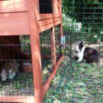 Samba e Bayleis conigli nel recinto alla pensione estiva di Addestrare Conigli