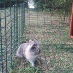 Leo coniglio nel recinto alla pensione estiva di Addestrare Conigli