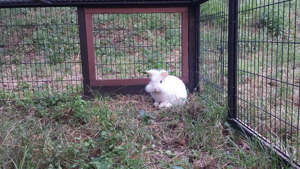 Ice nel recinto alla pensione estiva per conigli di Addestrare Conigli