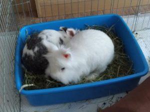 due conigli in lettiera
